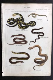 Richardson 1862 Hand Col Print. Banded Rattle Snake, Common Viper, Sea Snake